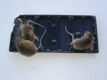 Mice_on_a_glue_trap