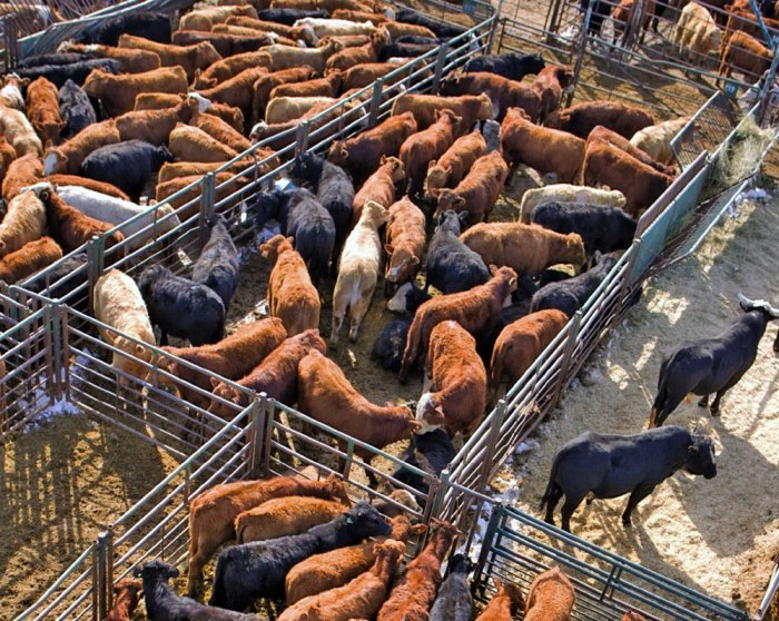 cattle-auction-feedlot3