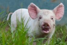 Jude Becker humanely raises pigs on his organic farm in Dyersville, Iowa.